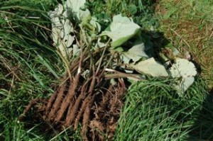 burdock-root-recipe5